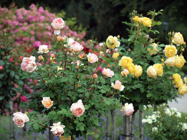 Говорят розы одни из самых вредных