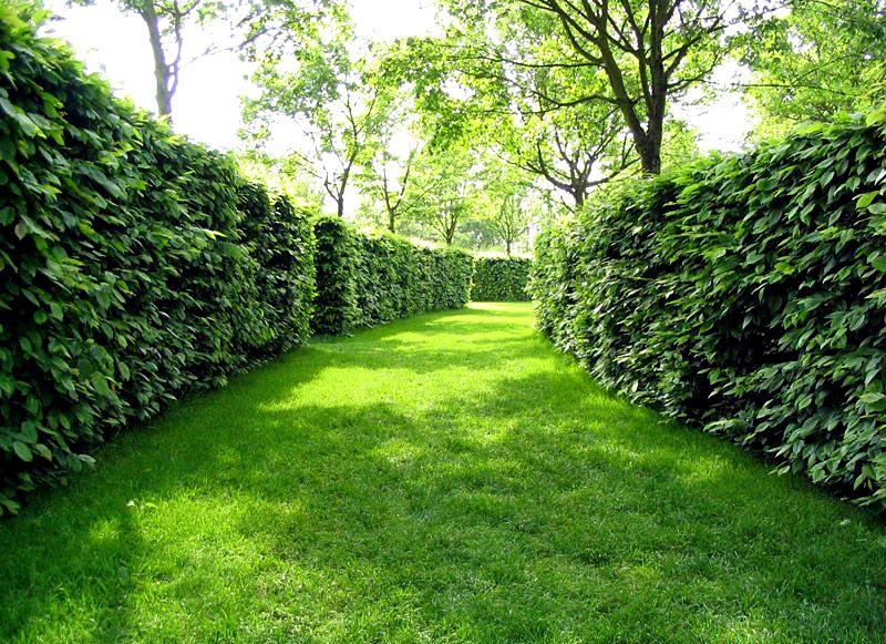 Из каких деревьях можно сделать живую изгородь